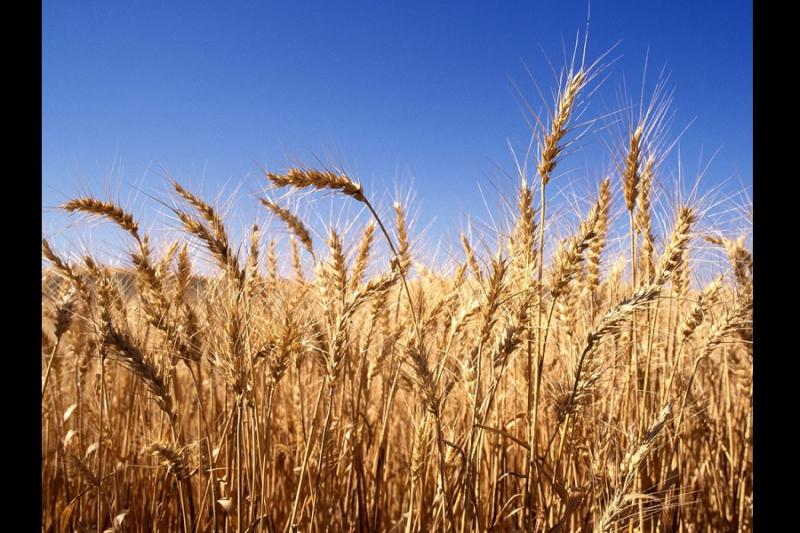 موسم الحنطة نحو سوريا المفيدة