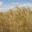 الميليشيات الكردية الإرهابية ستمنع تصدير القمح من مناطقها إلى مناطق سيطرة نظام الأسد